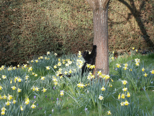 cat among dafodils